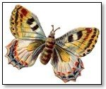Butterfuly beige wings brown stripe body 157