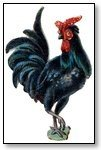 Animal rooster black 210
