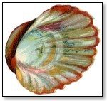 Oyster shell 037