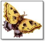 Moth gold lavender wings 123